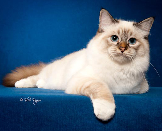 The Profile Image for Birmancatz