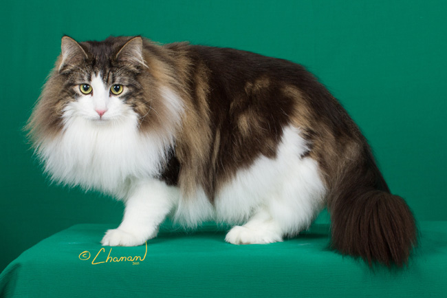 Norwegian Forest Cat Cats